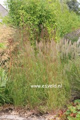 Schizachyrium scoparium