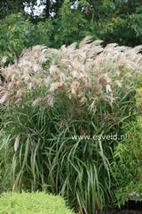 Miscanthus sinensis 'Gewitterwolke'