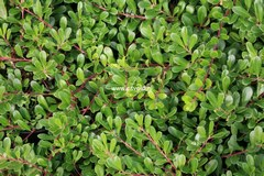 Arctostaphylos uva-ursi 'Massachusetts'