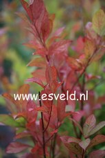 Itea virginica 'Long Spire'