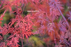 Acer palmatum 'Emerald Lace'