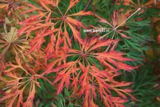 Acer japonicum 'Green Cascade'