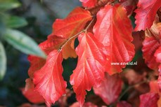 Parrotia