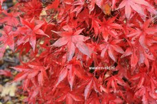 Acer palmatum 'Dr. Tilt'