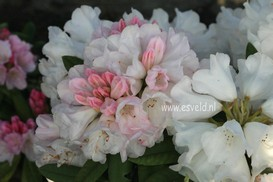 Rhododendron 'Straver's Glory'