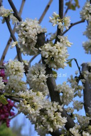 Cercis canadensis 'Texas White'