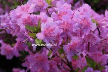 Azalea 'Gotthard'