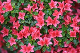 Azalea 'Hana asebi'