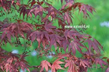 Acer palmatum 'Vandermoss Red'