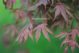 Acer palmatum 'Koba shohjoh'