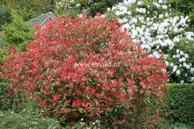 Photinia fraseri 'Red Robin'