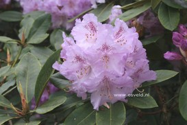 Rhododendron 'Susan'