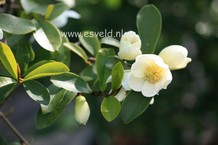 Michelia crassipes