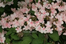 Viburnum plicatum 'Pink Beauty'