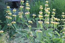 Phlomis