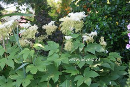 Filipendula purpurea 'Alba'
