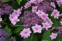 Hydrangea macrophylla 'Shamrock'