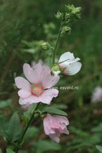 Lavatera 'Blushing Bride'