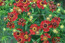Helenium 'Rubinzwerg'