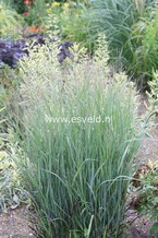 Panicum virgatum 'Heiliger Hain'