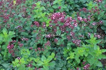 Origanum