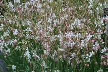 Gaura