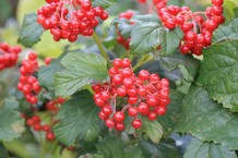 Viburnum