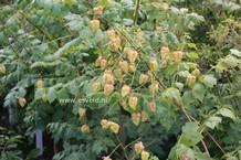 Koelreuteria paniculata 'Beachmaster'