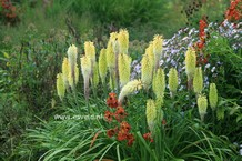 Kniphofia