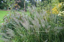 Sorghastrum
