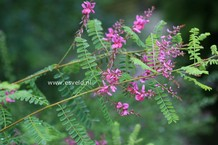 Indigofera amblyantha