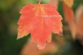Acer rubrum 'Franksred' (RED SUNSET)