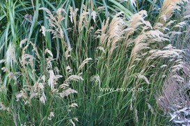 Stipa calamagrostis