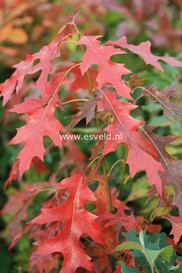 Quercus coccinea 'Splendens'