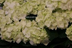 Hydrangea macrophylla 'Vanilla Sky'