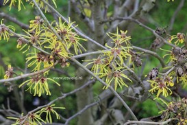 Hamamelis intermedia 'Anne'