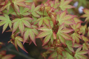 Acer palmatum 'Kiyo hime'