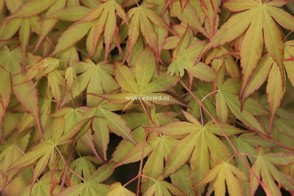 Acer palmatum 'Katsura'