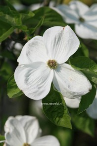 Cornus 'Eddie's White Wonder'