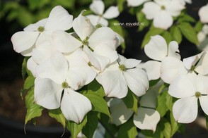 Cornus 'Rutfan' (STARDUST)