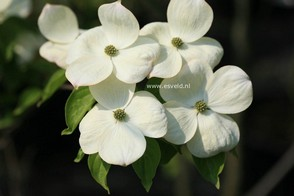 Cornus 'Rutdan' (CELESTIAL / GALAXY)