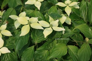 Cornus kousa 'National'