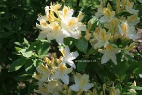 Azalea 'Daviesii'