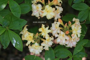 Azalea 'Bouquet de Flore'