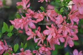 Azalea 'Blaauw's Pink'