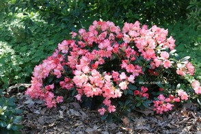 Rhododendron 'Bambi'