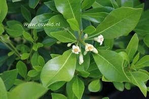 Pittosporum tobira 'Cuneatum'