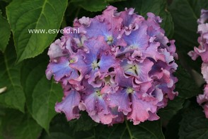 Hydrangea macrophylla 'Spike' (BEAUTENSIA)