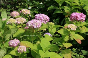 Hydrangea macrophylla 'Semperflorens','Bailmer'(ENDLESS SUMMER)