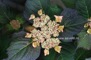 Hydrangea macrophylla 'Sita'